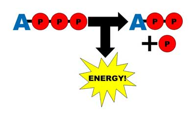 ATP to ADP, energy