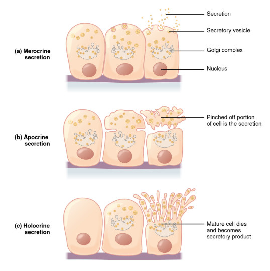 Apocrine,Holocrine and Eccrine glands