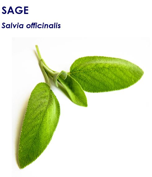 Common sage (Salvia officinalis)