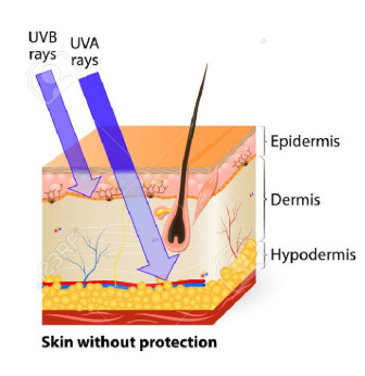 Longer wavelength UVA penetrates deeply into the dermis
