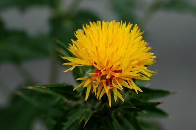 safflower, carthamus