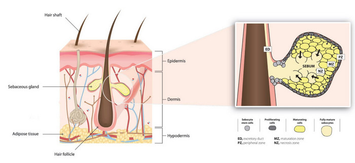 Sebaceous glands (holocrine glands) produce an oily secretion that keeps the skin soft and pliable