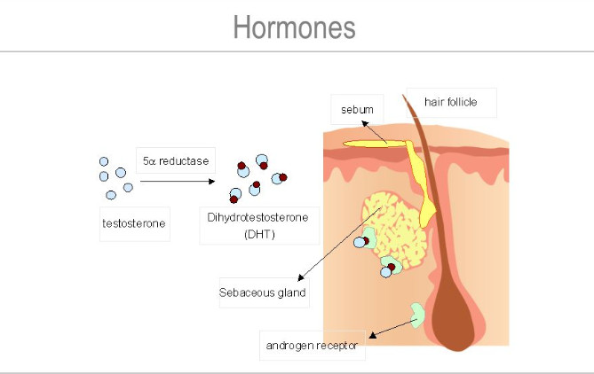 Sebum production is under the control of sex hormones (androgens). The most active androgens are testosterone and DHT