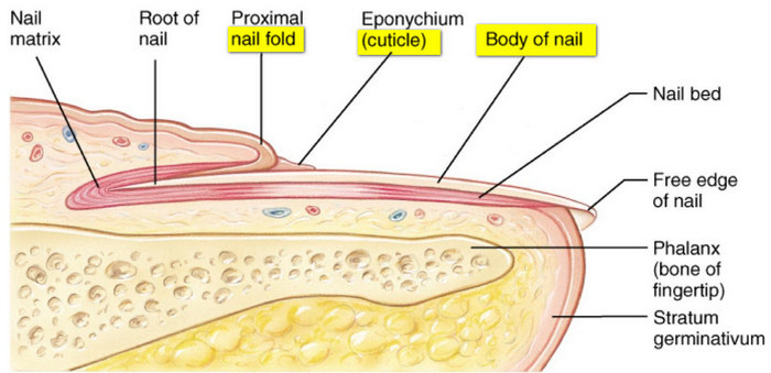 The nail structure is divided into six parts root, nail bed, nail plate, eponychium, paronychium, and hyponychium