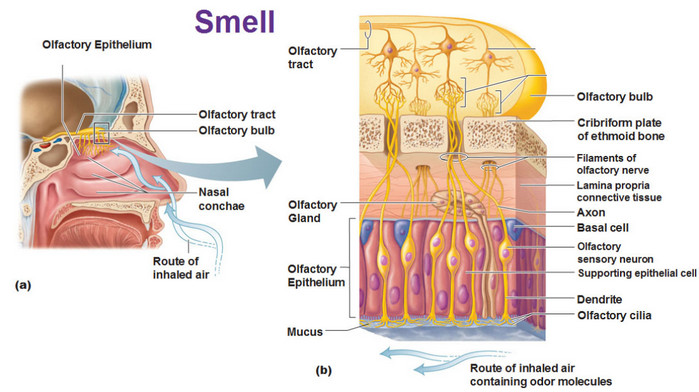 The olfactory epithelium is a specialized epithelial tissue inside the nasal cavity that is involved in smell.