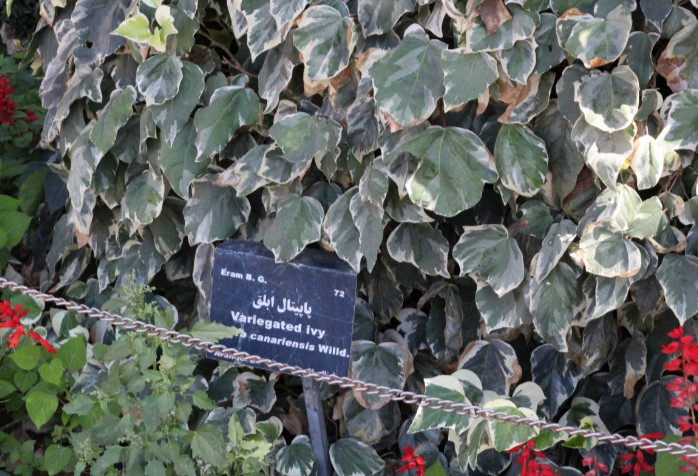 Variegated ivy leaves will typically have green and white or yellow markings