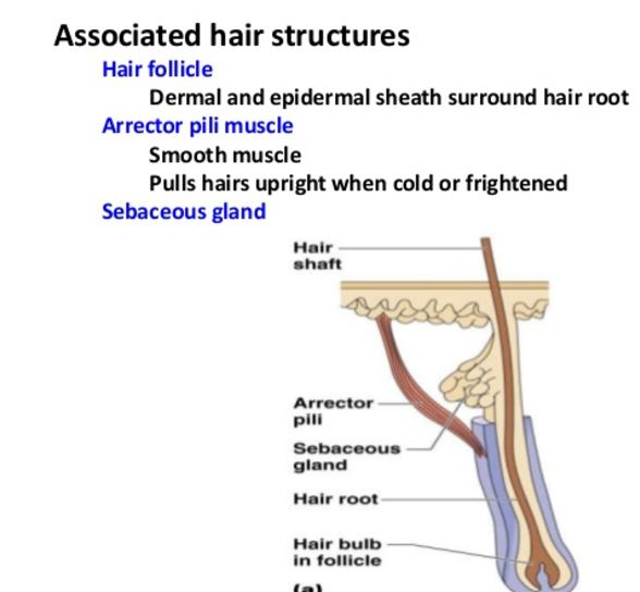 assosiated hair structures