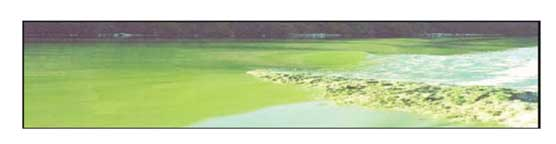 blue green algae1