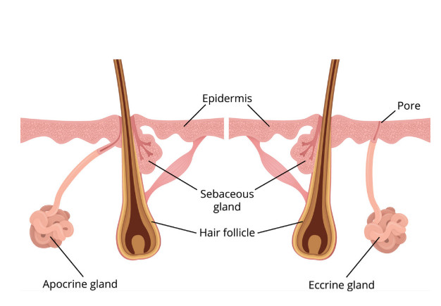 eccrine apocrine sebaceous gland hair follicle