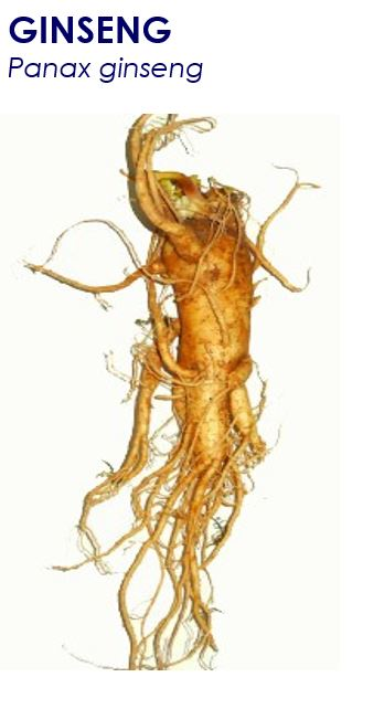 ginseng panax, Panax ginseng, also called Asian, Chinese or Korean ginseng