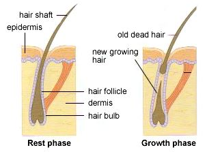 hair cycle3