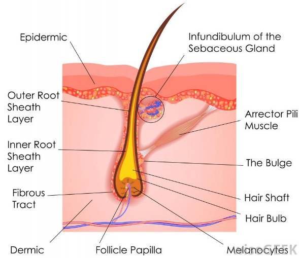 hair follicle with associated structures