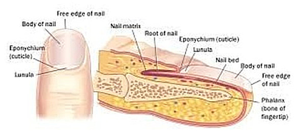 he nail structure is divided into six parts root, nail bed, nail plate, eponychium (cuticle), paronychium (edge), and hyponychium