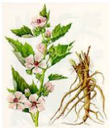 mallow root