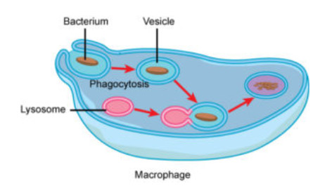 phagocytosis is the process by which a cell engulfs a solid particle to form an internal compartment known as a phagosome