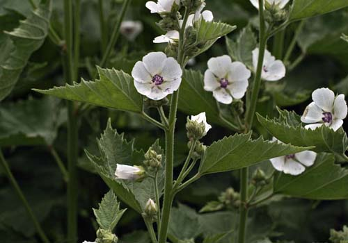 گیاه ختمی Marsh mallow, Alcea, Althea