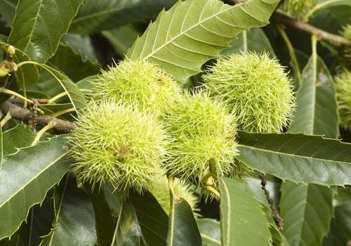 گیاه شاه بلوط Spanish chestnut
