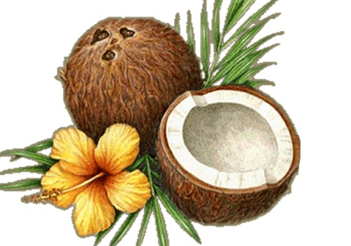 گیاه نارگیل Coconut Palm