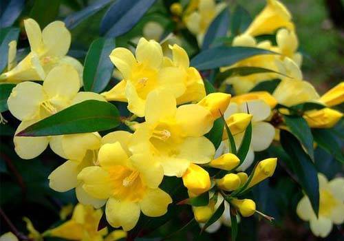 گیاه یاسمن آمریکایی Yellow Jessamine, yellow jasmine, Carolina jasmine, evening trumpetflower, gelsemium,woodbine