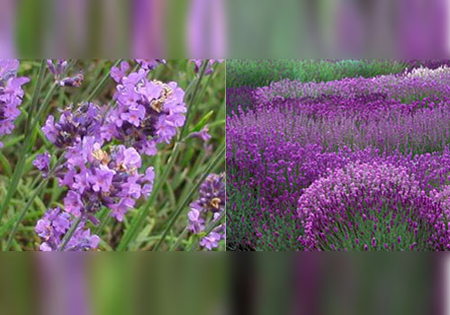 گیاه اسطوخودوس English Lavender