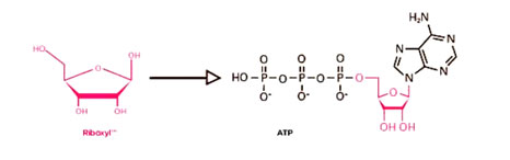 ribose to ATP reaction
