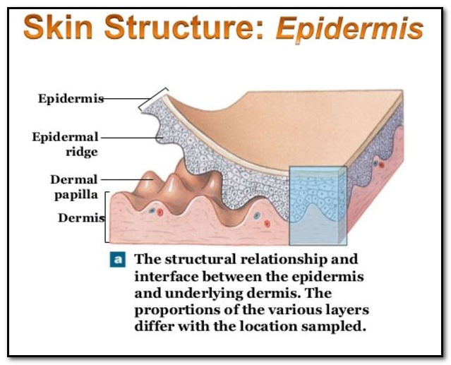 rpidermal ridge
