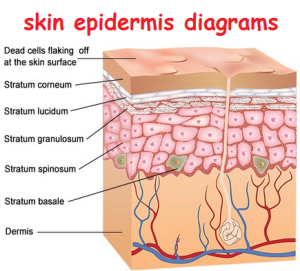 skin epidermis diagrams 300x271