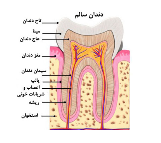 tooth anatomy2